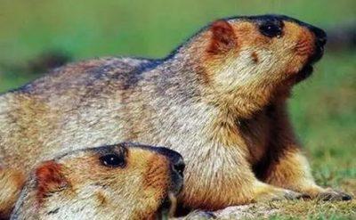 鼠疫可防可控可治,这些知识你应该知道